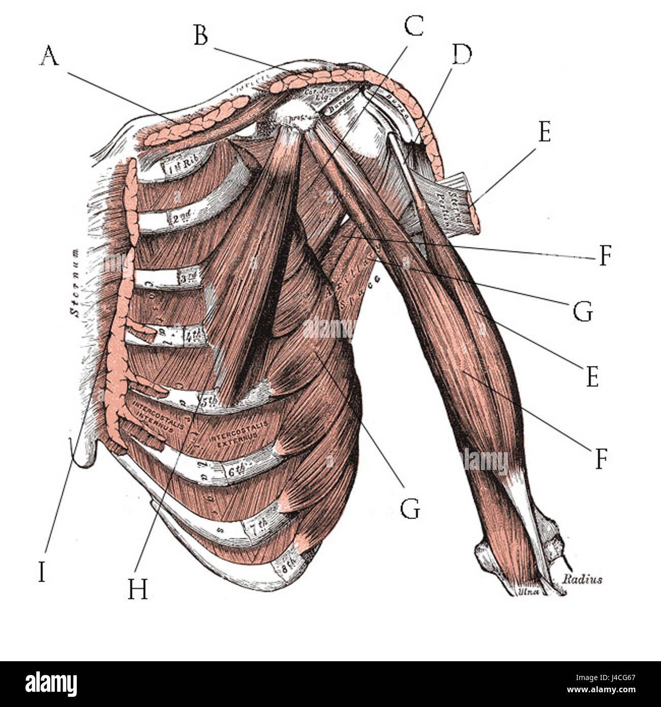 Gemütlich Brustmuskel Ideen - Menschliche Anatomie Bilder ...