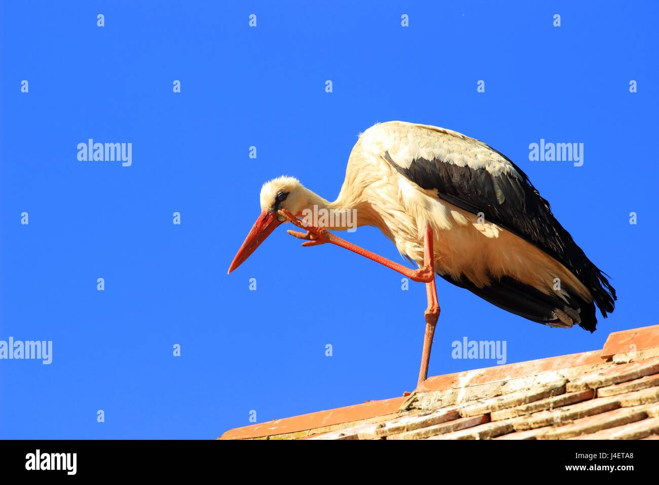 Weißstorch Kratzen auf Hausdach Stockbild