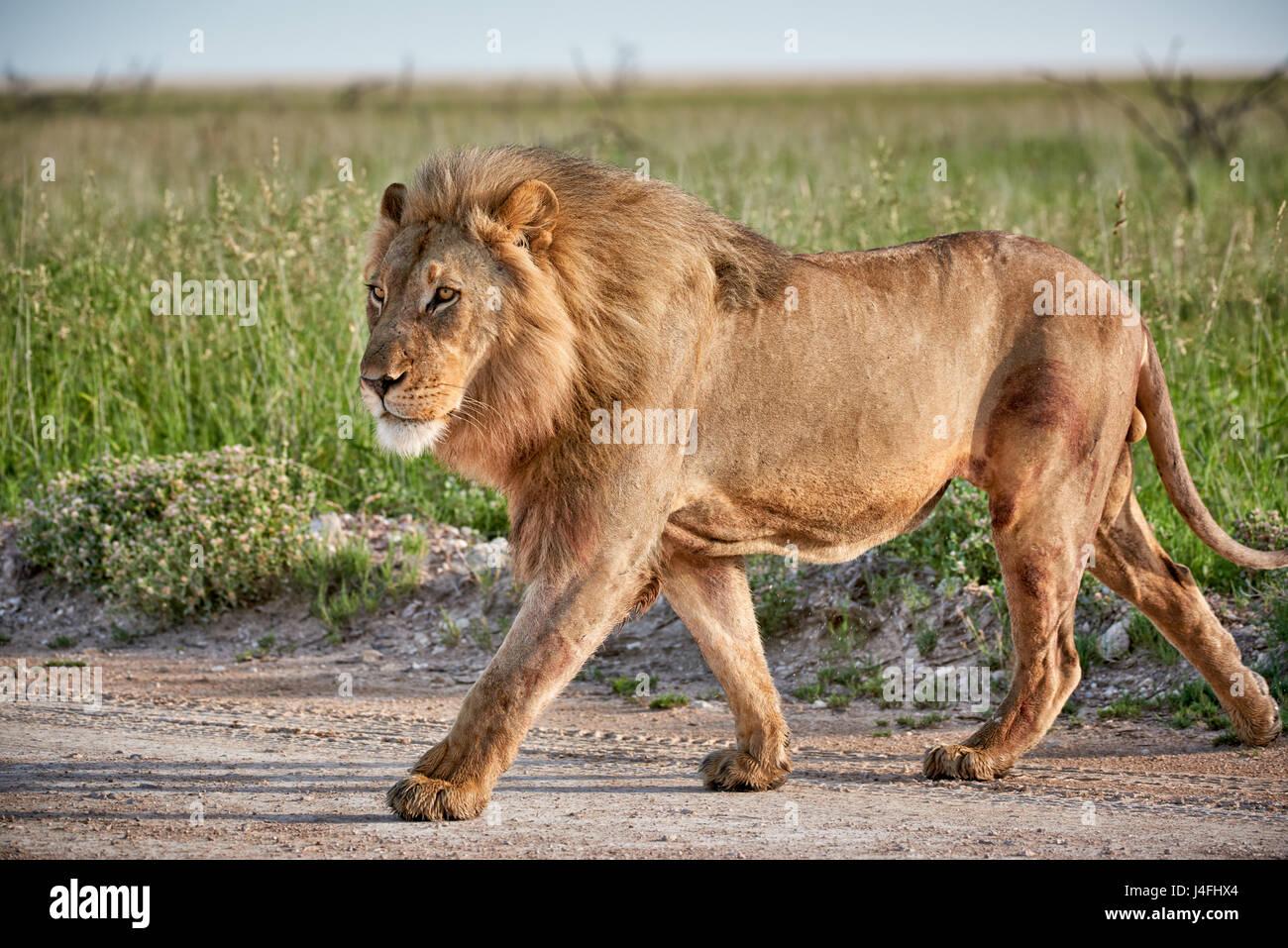 männlicher Löwe (Panthera Leo) patrouillieren durch die Gegend Stockbild