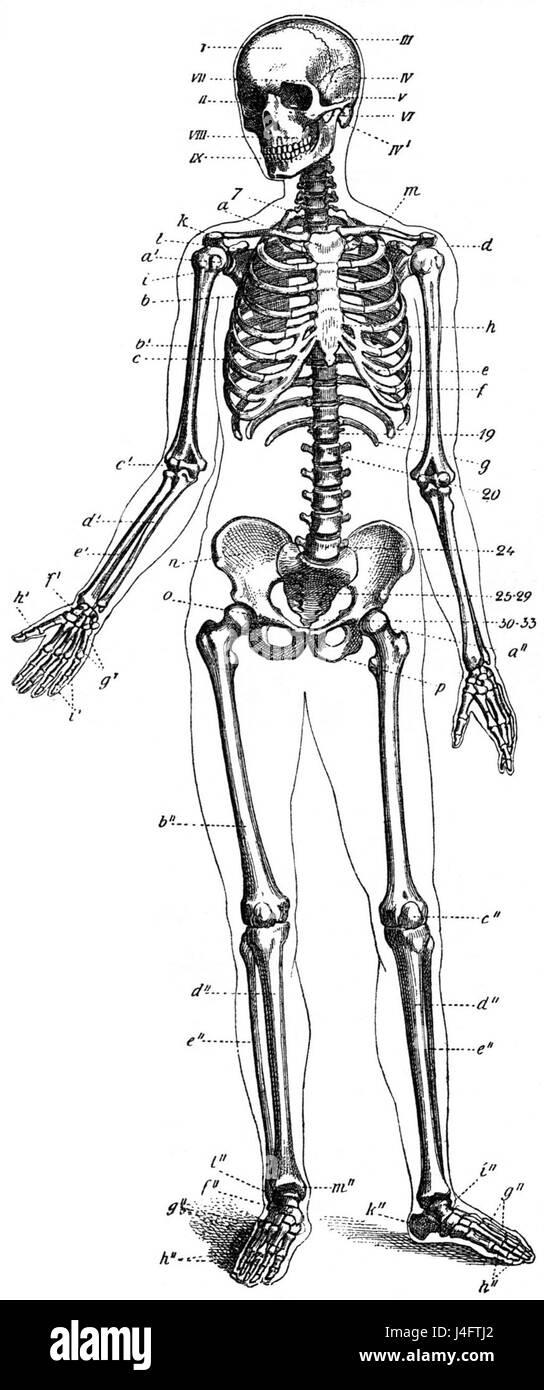 Berühmt Lernen Die Menschliche Anatomie Zu Zeichnen Galerie ...