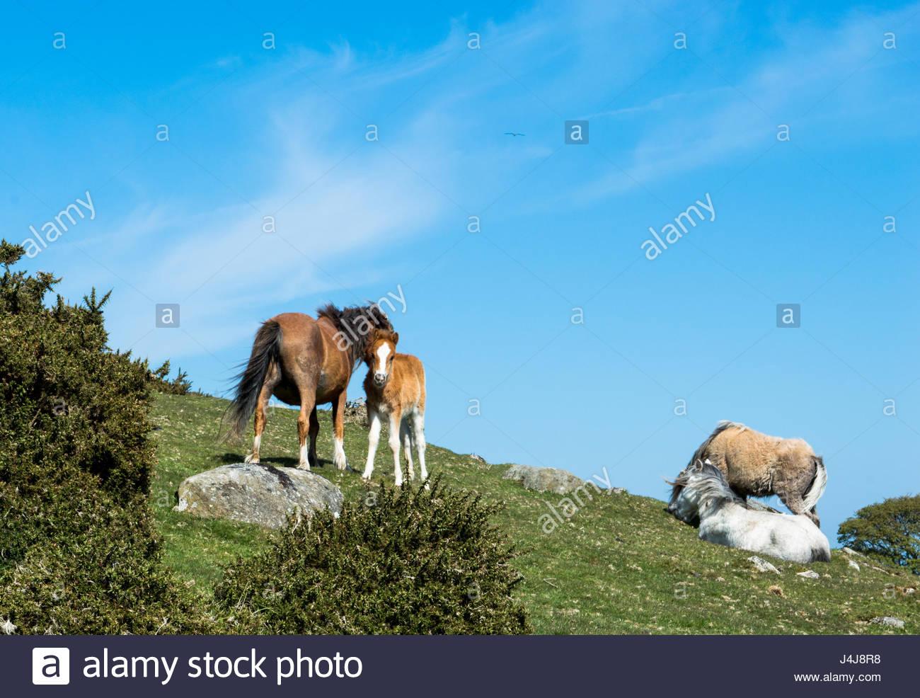 Carneddau Ponys auf Cefn Maen Amor, Snowdonia Stockbild