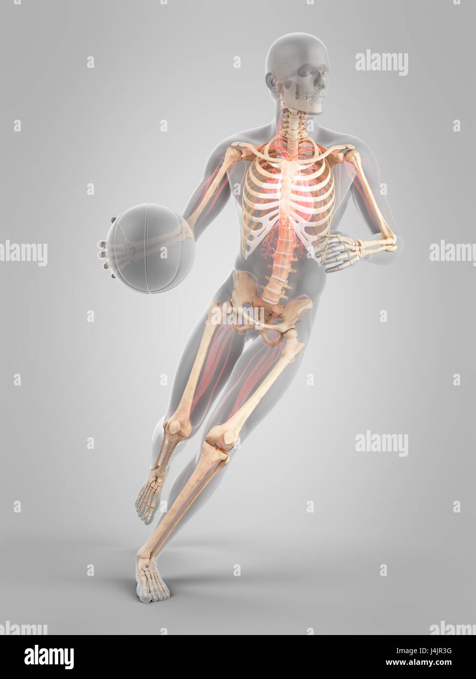 Nett Skelettstruktur Galerie - Menschliche Anatomie Bilder ...