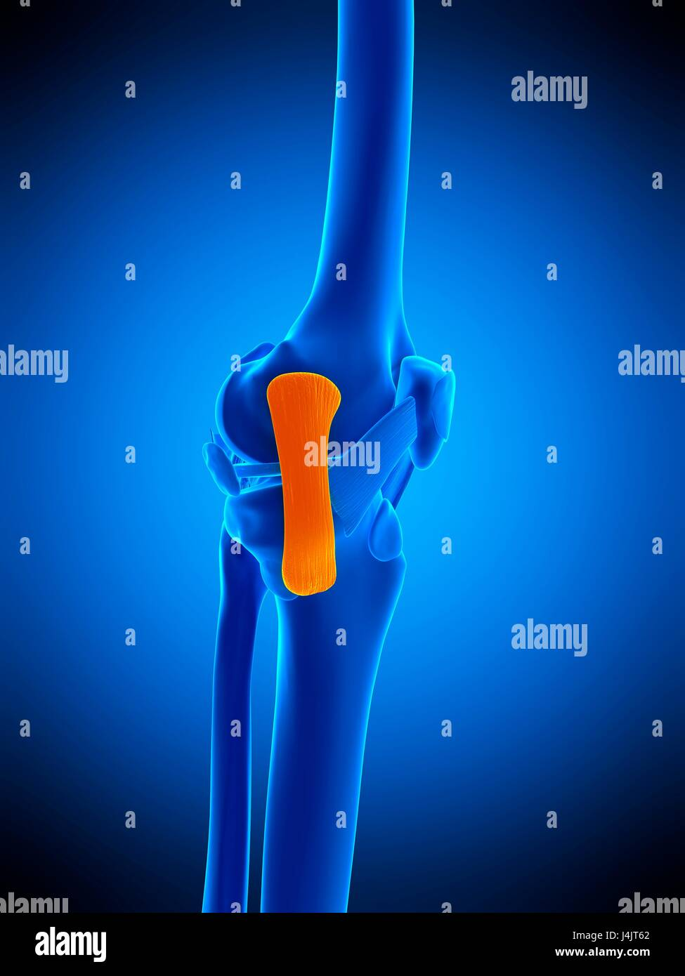Collateral Ligament Stockfotos & Collateral Ligament Bilder - Alamy