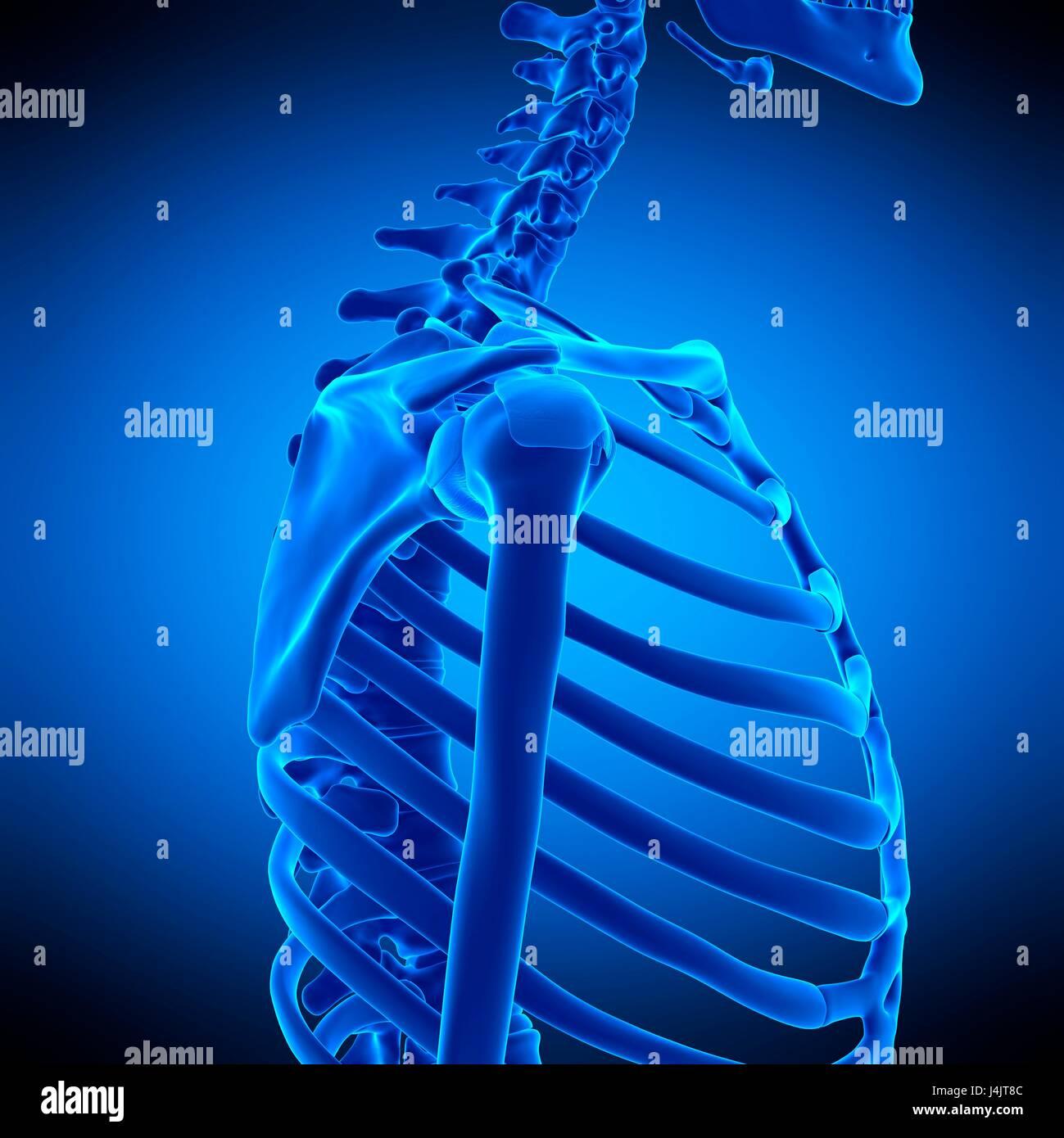 Shoulder Ligament Stockfotos & Shoulder Ligament Bilder - Alamy