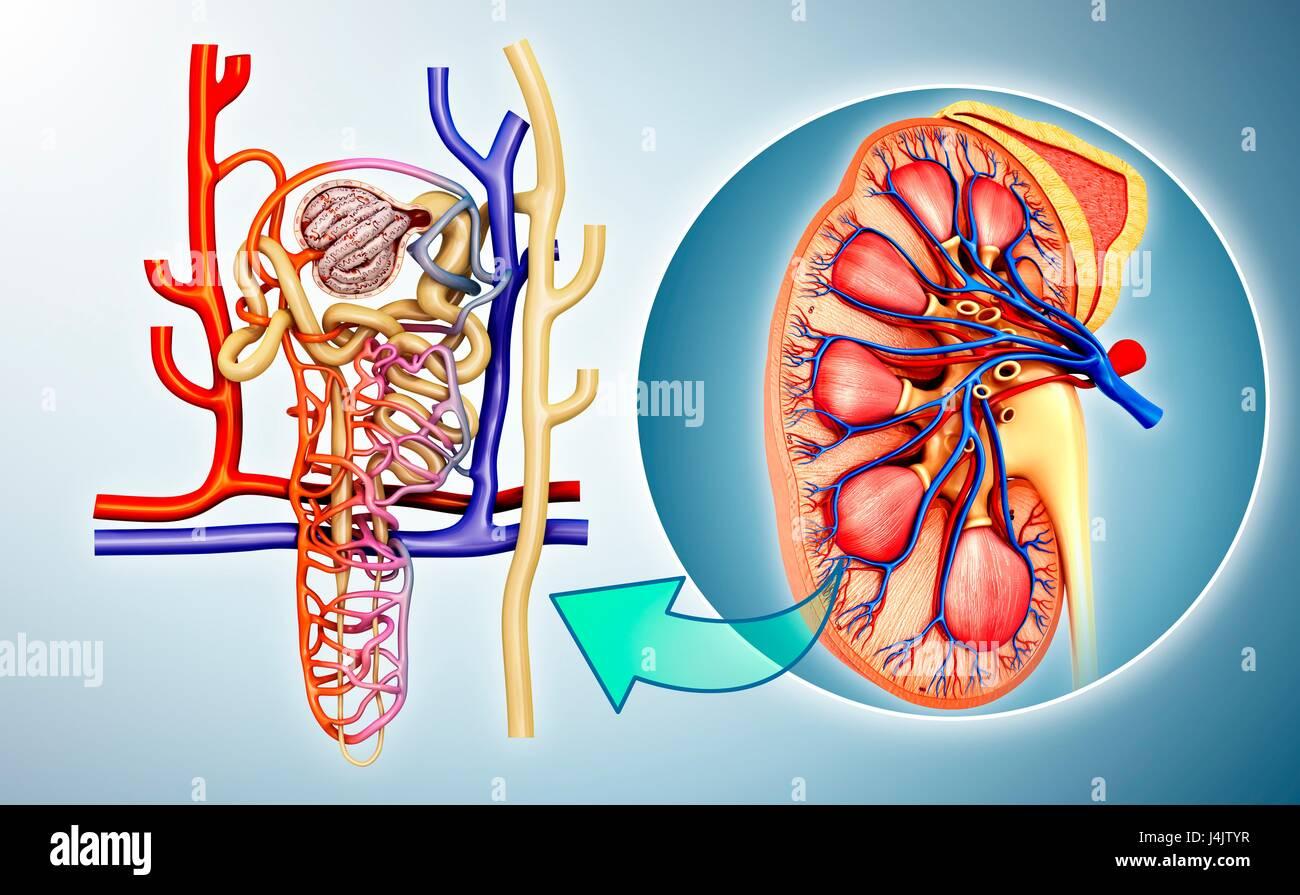 Abbildung der Struktur in einer Niere Nephron Stockfoto, Bild ...