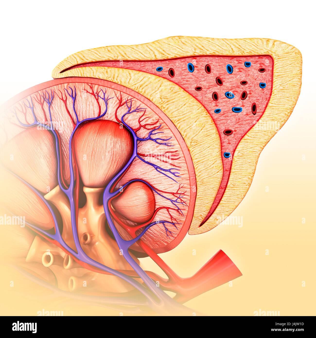Illustration von Niere und Nebenniere Anatomie Stockfoto, Bild ...