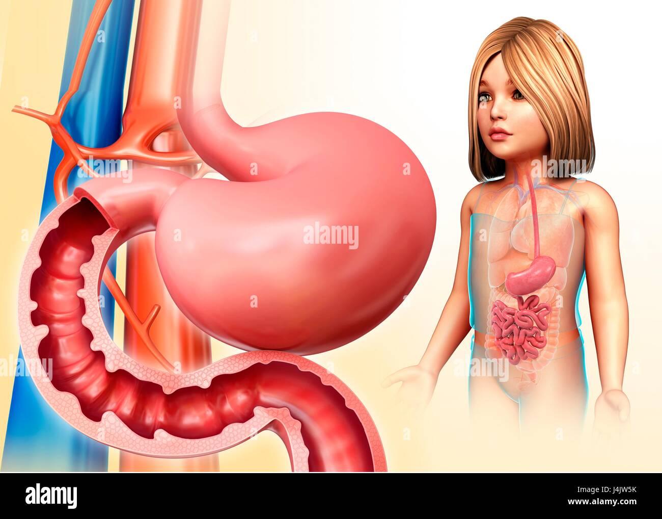 Abbildung: Magen und Zwölffingerdarm eines Kindes Stockfoto, Bild ...