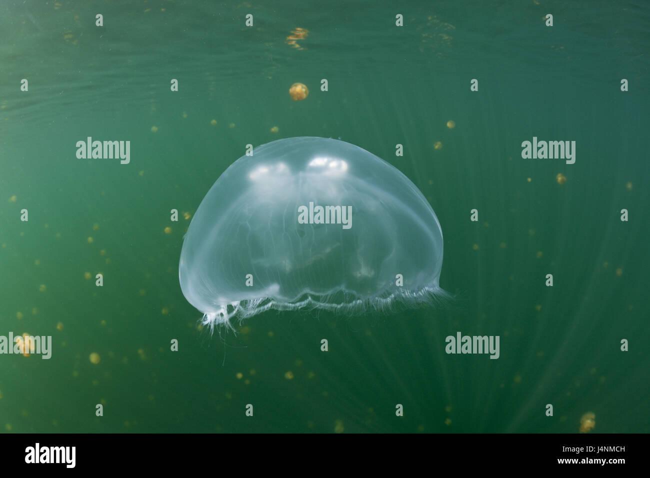 Unterwasser-Aufnahme, Ohr Quallen, Aurelia Golden, Stockfoto