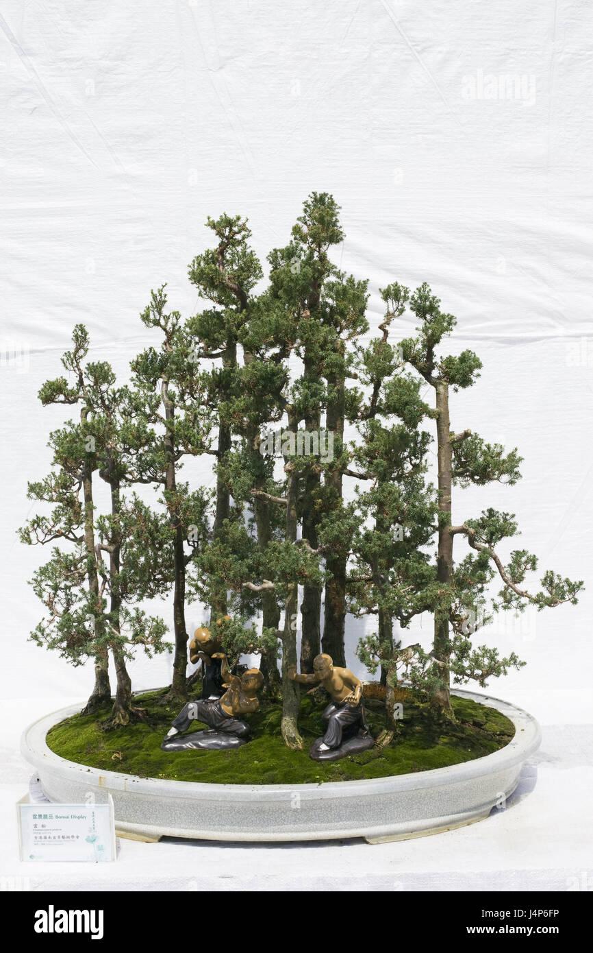 kann ein kleiner Bonsai oder zum großer Gartenbaum werden. i KONIFERE i