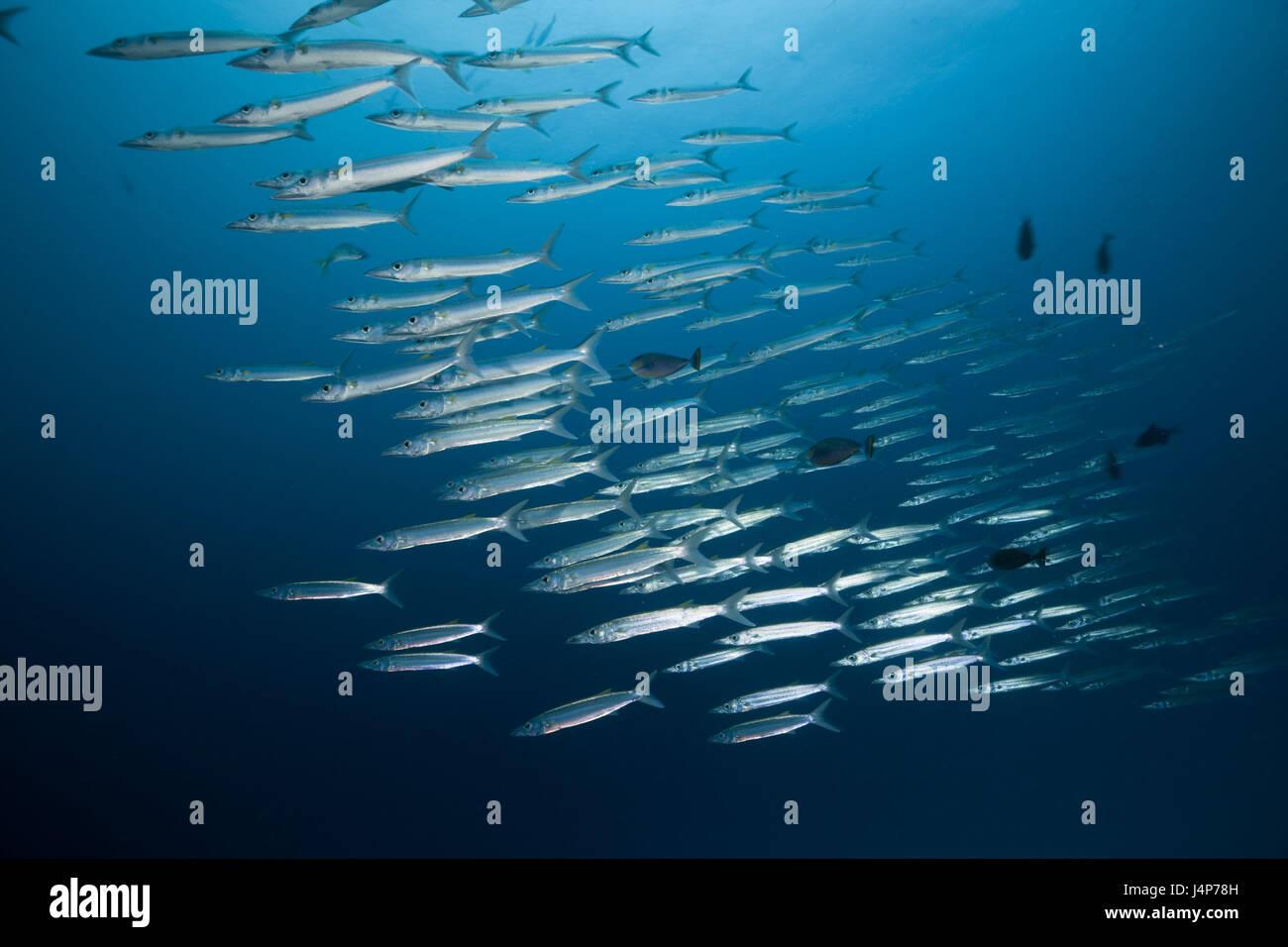 Unterwasser-Aufnahme, Fisch-Traum, gelben Schweif Barrakudas, größten Flavicauda, Stockbild