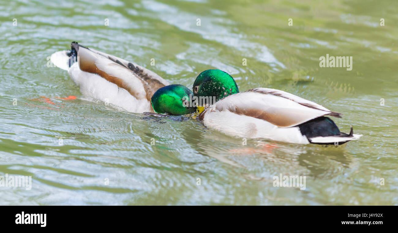 Bezahlt von Drake Stockenten (Anas platyrhynchos) von Angesicht zu Angesicht miteinander konfrontieren, Wasser in Stockbild
