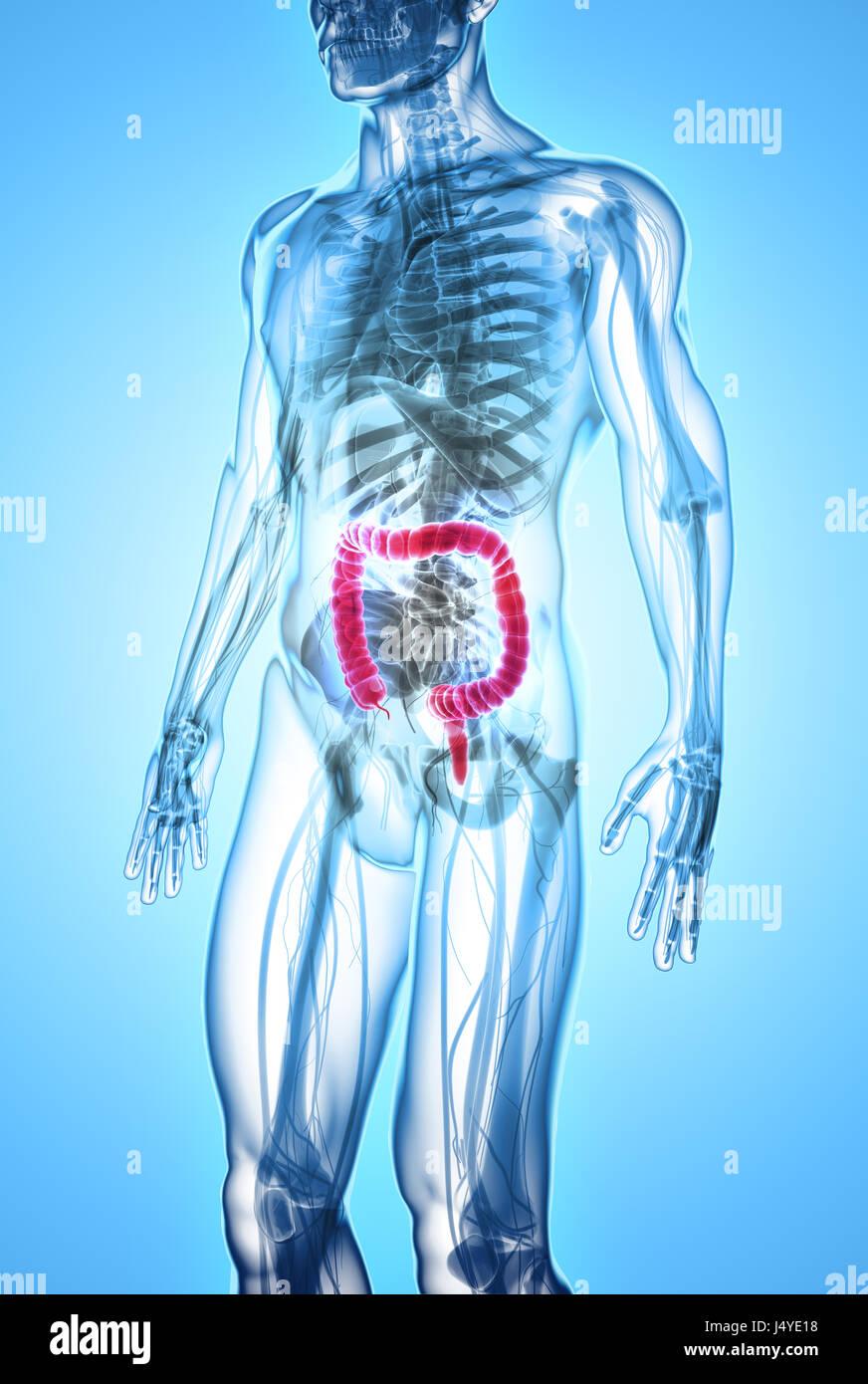 Berühmt Menschliche Anatomie Des Verdauungssystems Bilder ...