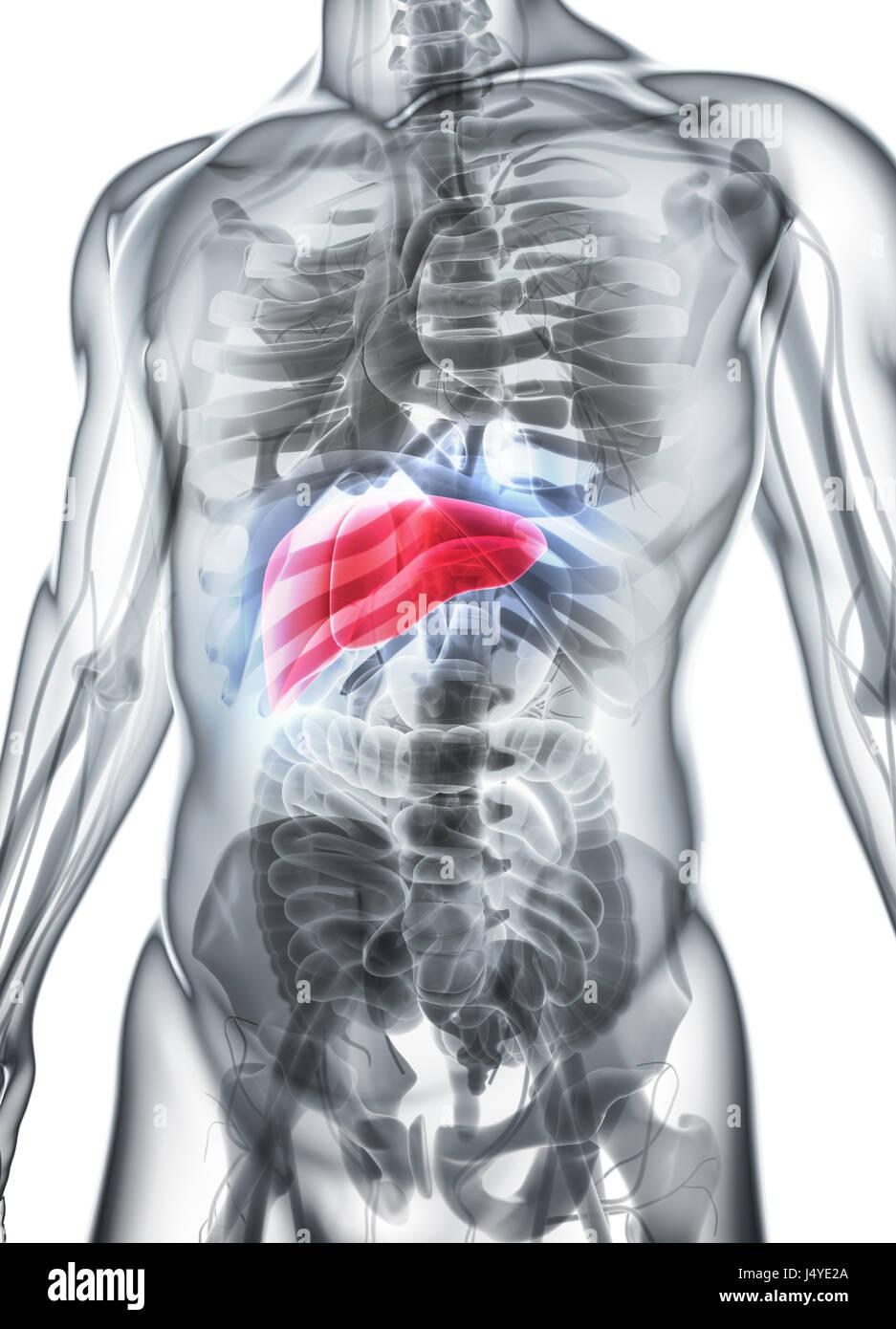 Ziemlich Bild Des Verdauungstraktes Bilder - Menschliche Anatomie ...
