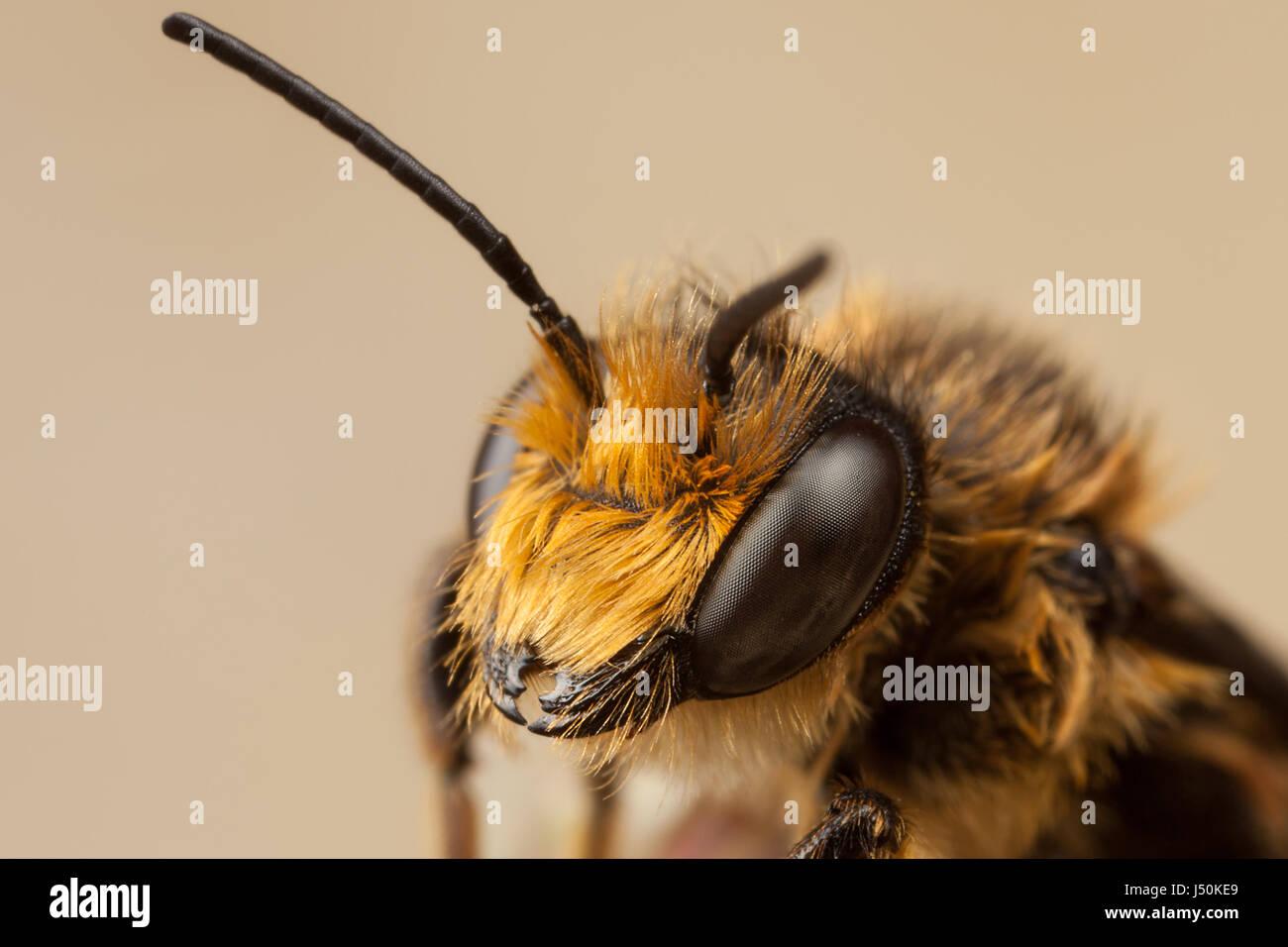 Rote Mauerbiene, Osmia bicornis Stockbild