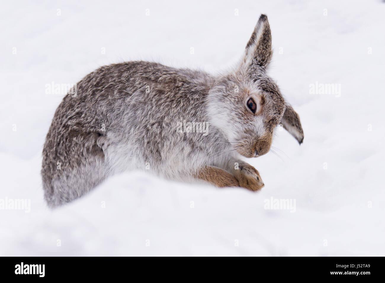 Schneehase (Lepus Timidus) Pflege Stockbild