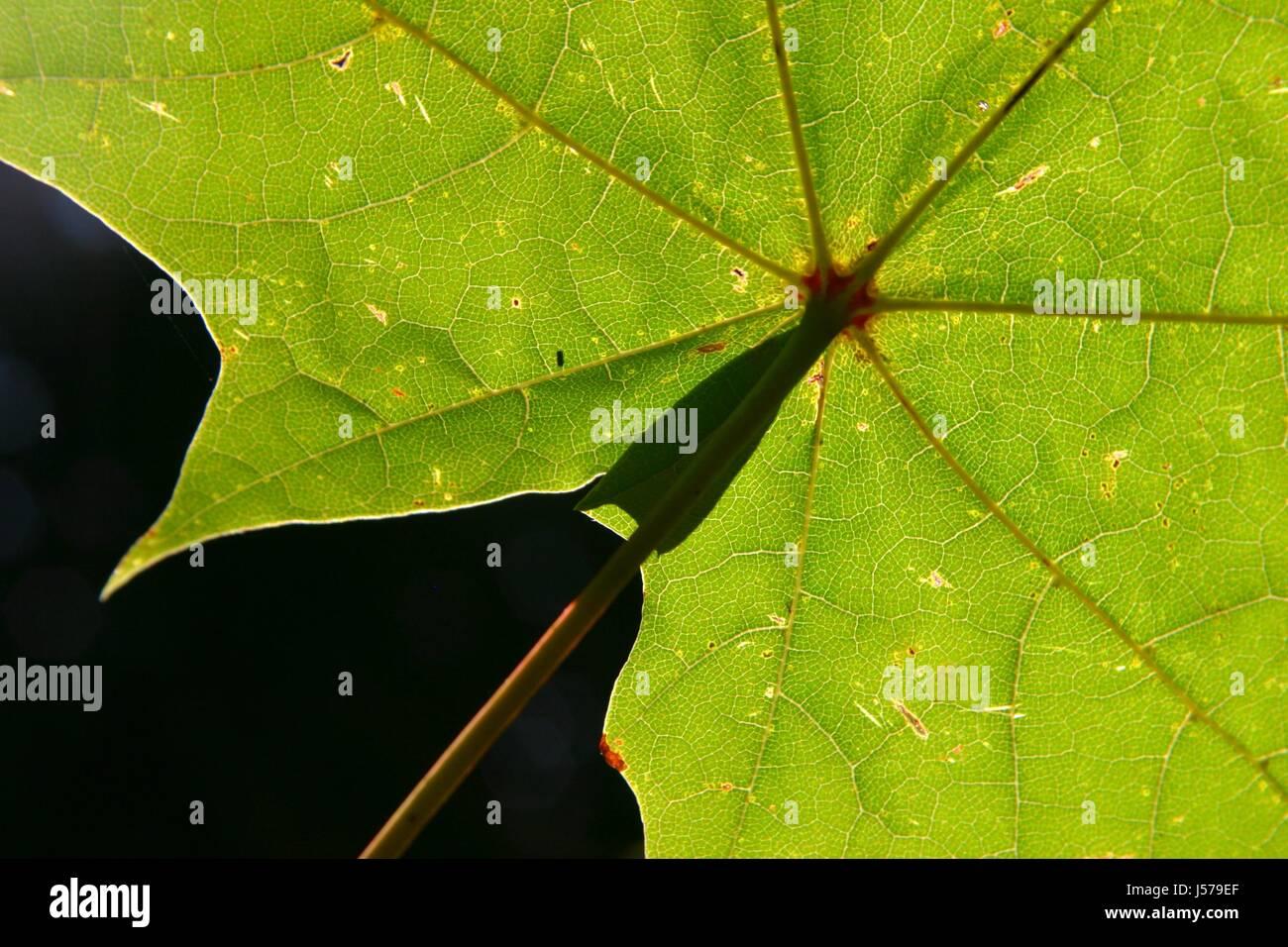Genial Grüne Pflanzen Foto Von Grüne Chlorophyll Vene Blatt Venen Verzweigung Gewebe