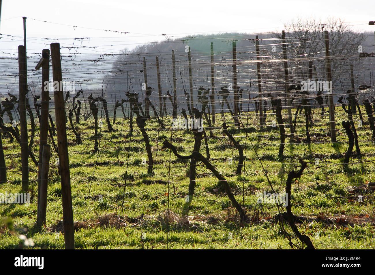 Zaun Draht Weinbau Winzer Gemeinsame Weinreben Rebe Weinrebe Rebe