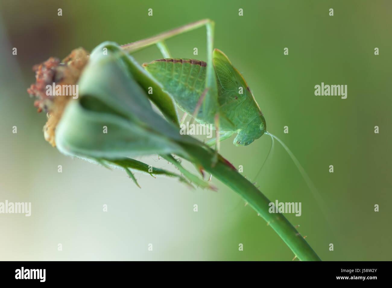 Größere Winkel-wing katydid (Microcentrum rhombifolium) thront auf einer rose Stammzellen Stockbild