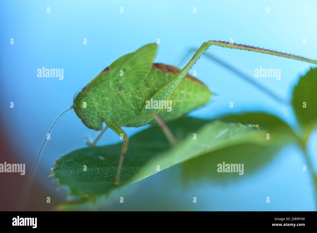Größere Winkel-wing katydid (Microcentrum rhombifolium) thront auf einer rose Blatt Stockbild