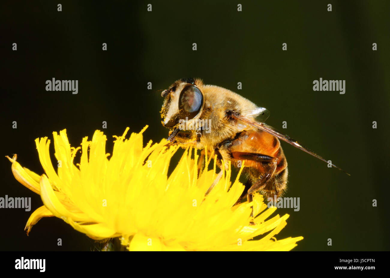 Drohne Fliegen (Eristalis Tenax), eine Biene nachahmen, gesehen ist die Bestäubung Nektar von einer gelben Stockbild