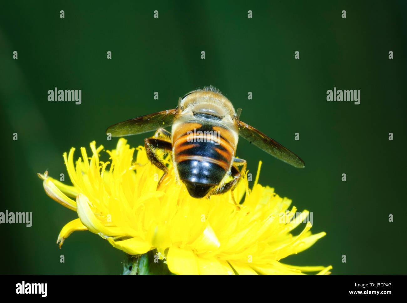 Drohne fliegen (Eristalis Tenax), eine Biene Mimik, gesehen von hinten bestäuben Nektar von einem gelben Flowerhead, Stockbild