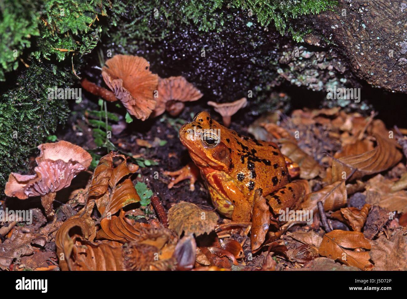 Brauner Frosch Stockfotos & Brauner Frosch Bilder - Alamy