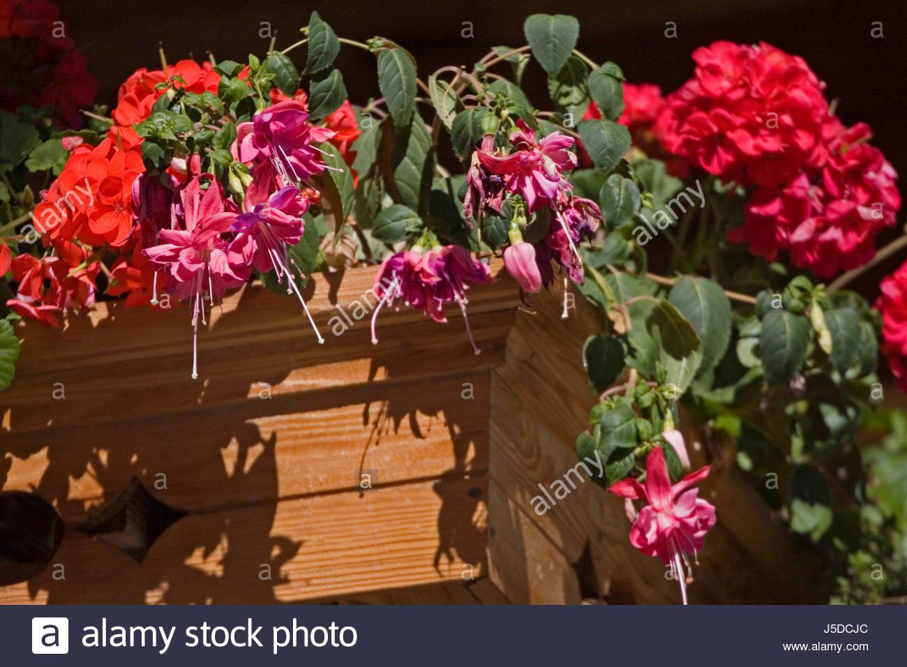 Holz Blume Vereinbarungen Balkon Lila Blute Dekorative Fuchsien Rot