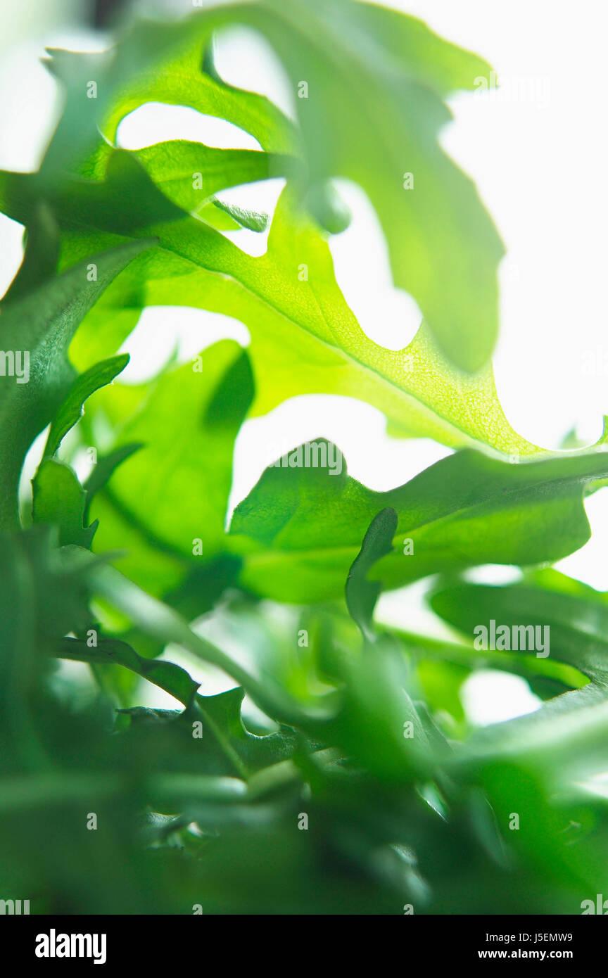 Rakete, entnimmt Sativa, Studioaufnahme aus grünen Salatblättern. Stockbild