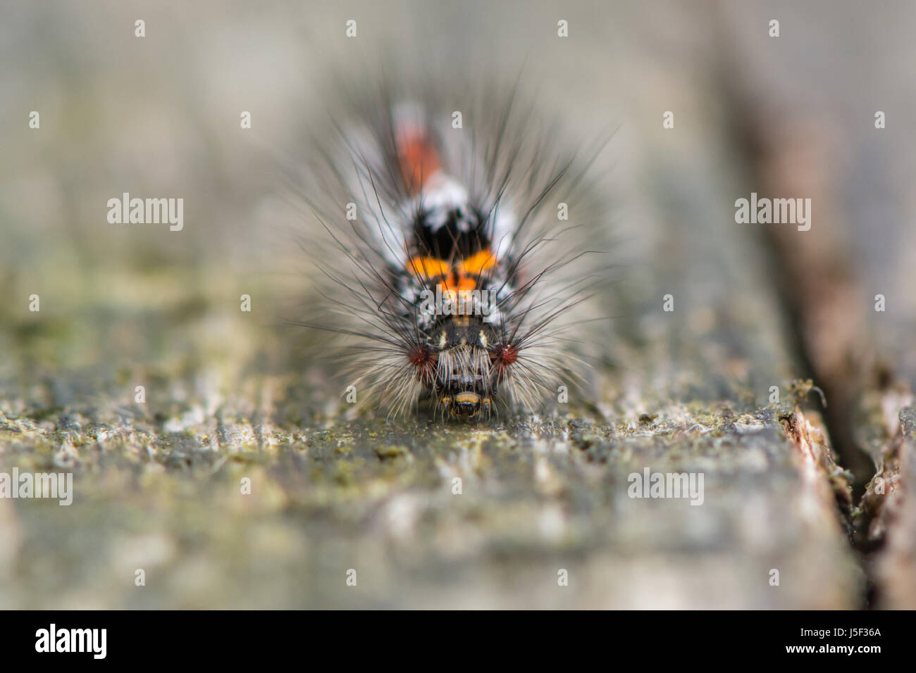 Gelb-Tail Motte (Euproctis Similis) Raupe. Larve in Familie Erebidae, Unterfamilie Lymantriinae bedeckt mit Haaren Stockbild