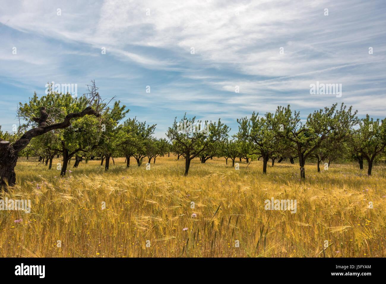 Landwirtschaft in Mallorca mit Bäumen und Getreide angebaut, Mallorca, Balearen, Spanien Stockbild