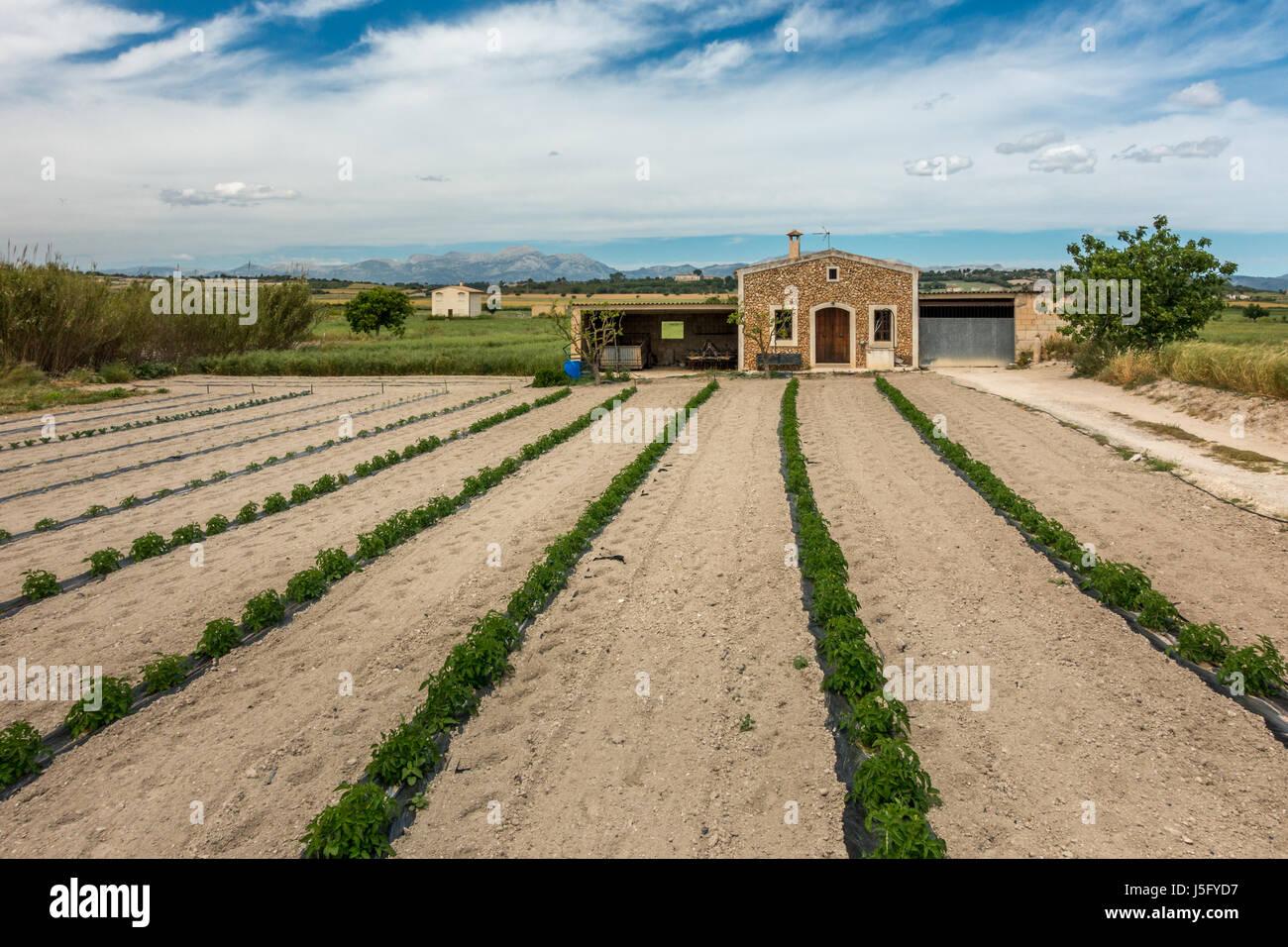 Anbau von Pflanzen in Linien auf einem Bauernhof im Norden Mallorcas Landschaft, Mallorca, Balearen, Spanien Stockbild
