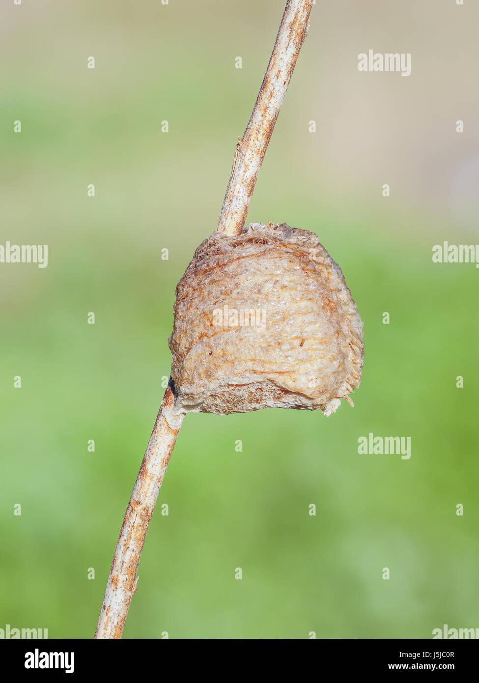 Ein chinesischer Mantis (Tenodera Sinensis Sinensis) Ootheca (Ei-Masse) an einem Pflanzenstängel befestigt. Stockbild