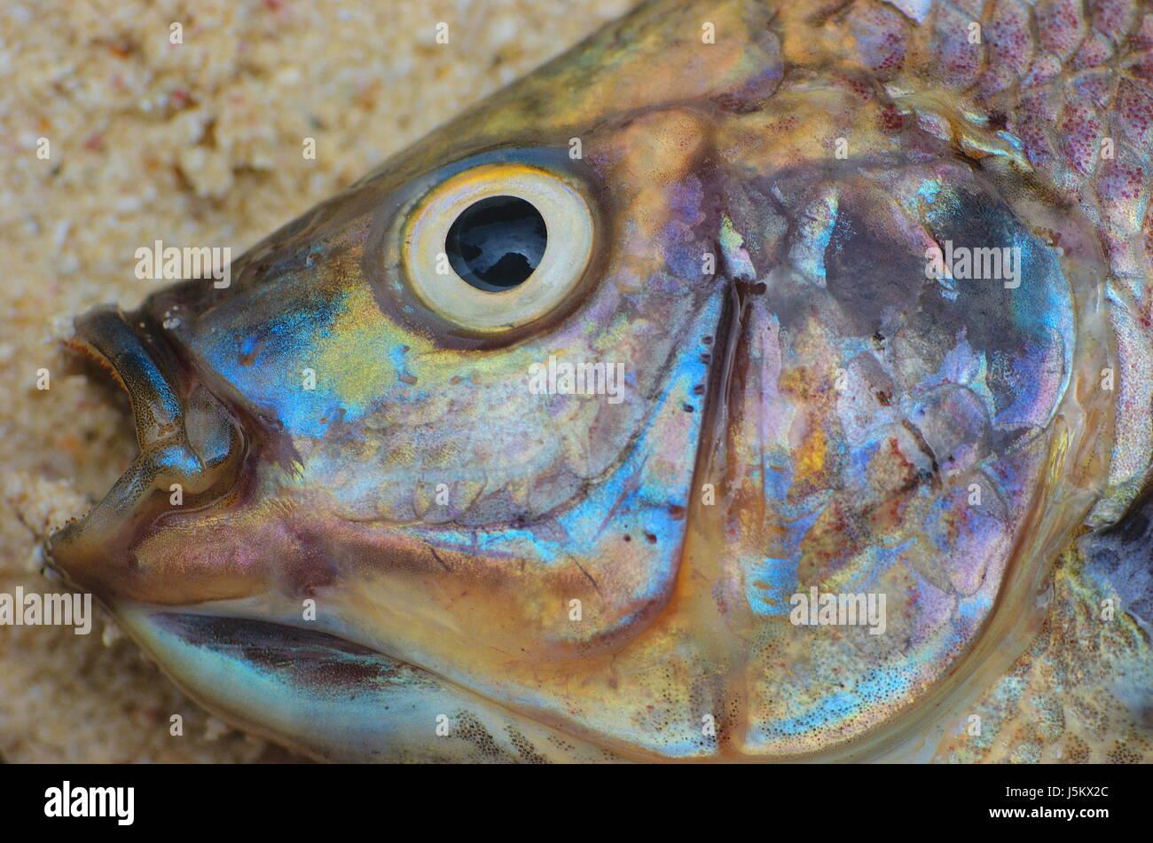 Auge Orgel Hövel Kiemen irisierende Farbe Fisch tot Farben Farben ...