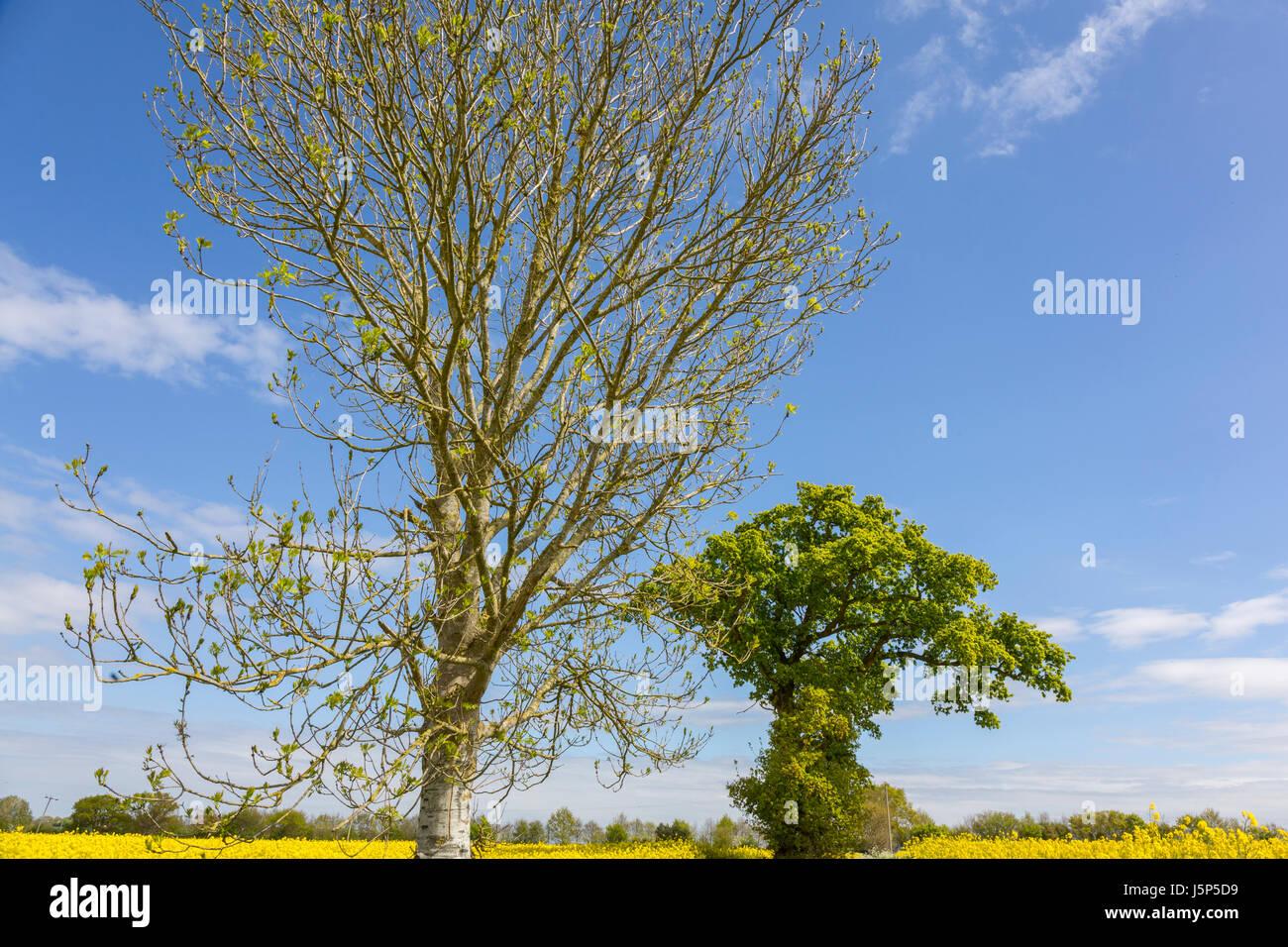 """Wetter Lore, die Eiche vor der Esche, in der für einen Splash"""". Esche (Oak Tree links (rechts). Hoxne, Stockbild"""