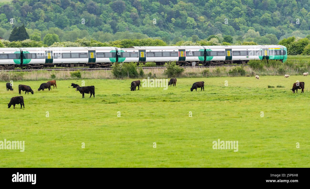 Reisen mit dem Zug in die Landschaft. Southern Rail Zug beschleunigt entlang der Bahn durch eine Kühe Feld Stockbild