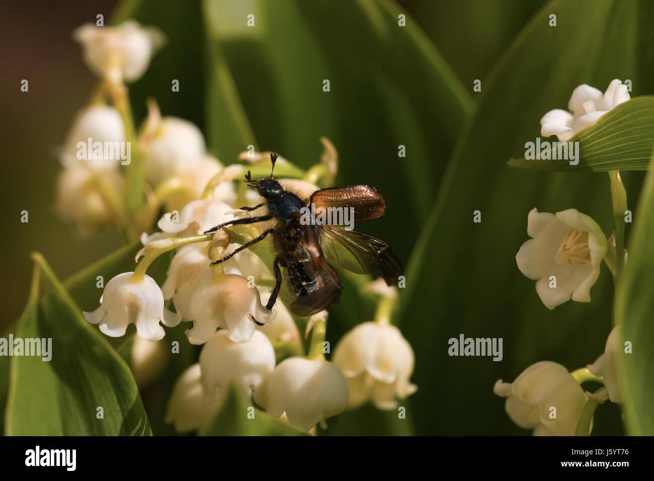 Maiglöckchen Giftig insekt kann heißhunger maikäfer maiglöckchen giftig giftig insekt