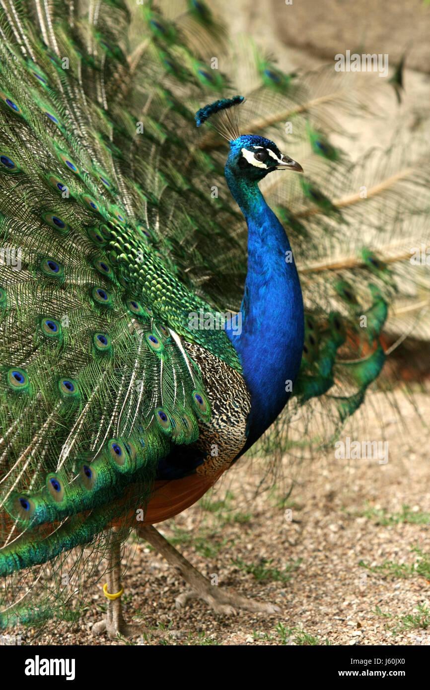 Blue Peacock Pavo Cristatus Stockfotos & Blue Peacock Pavo ...