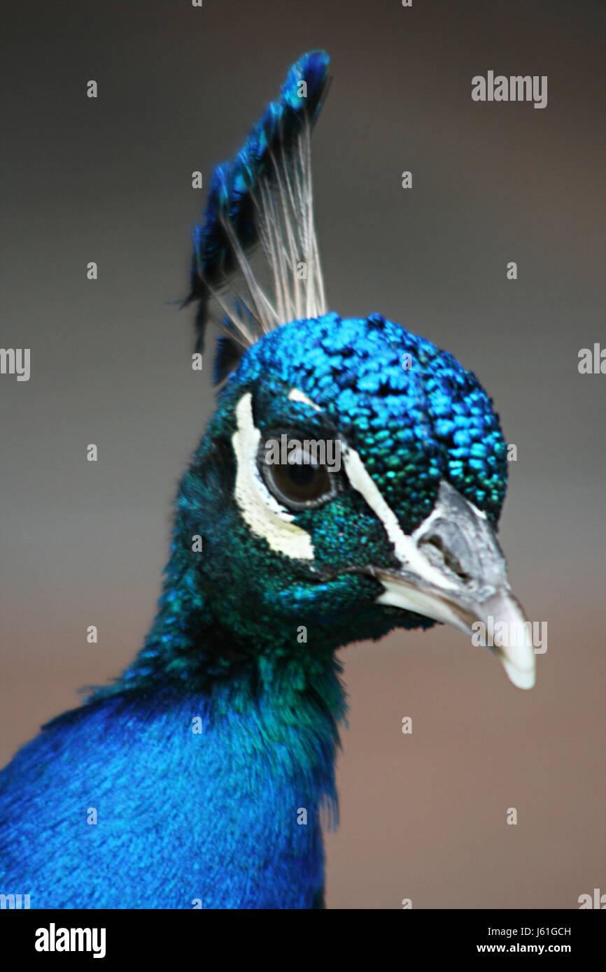 Blauer Vogel Porträt Vögel Schnabel Pfau Farben schillern Schnäbel ...