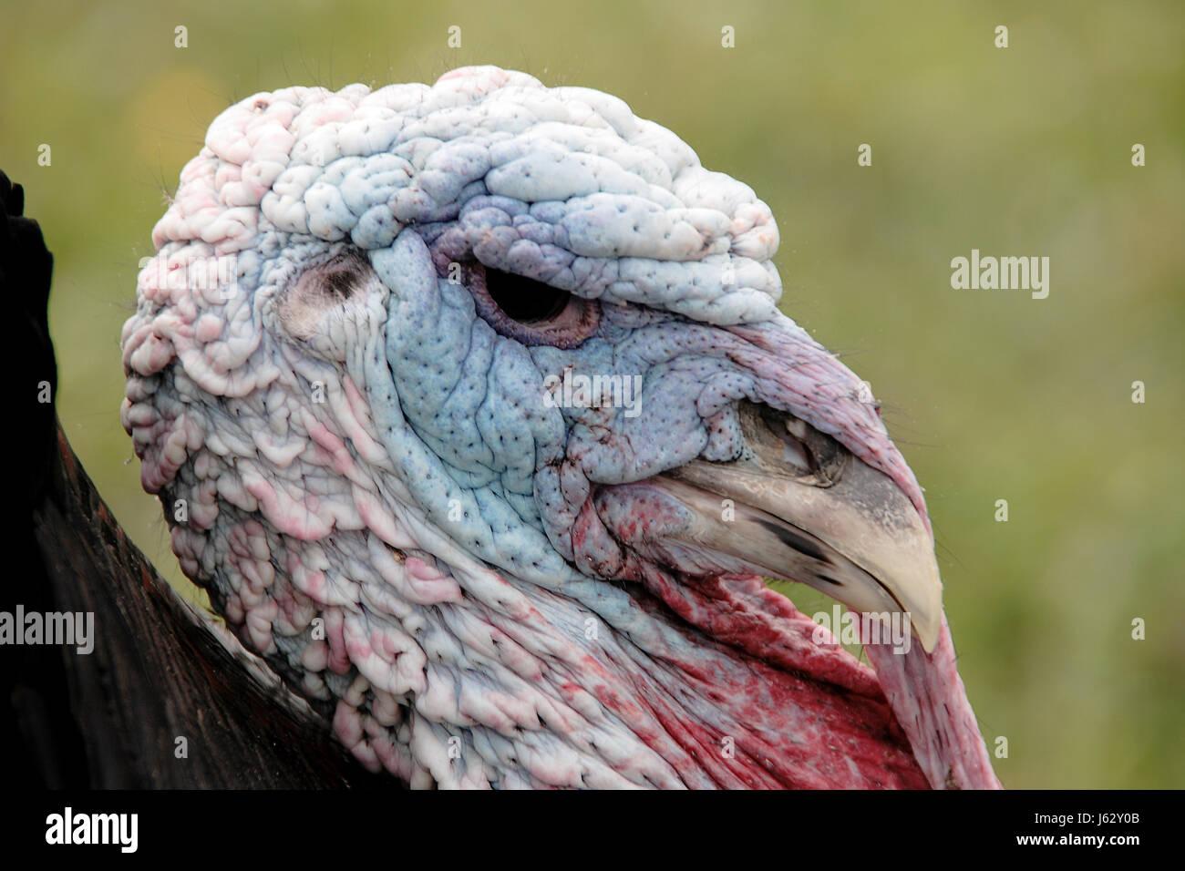 Federn Farbe Türkei Farben Farben Tiere Vogel männlichen maskulinen ...