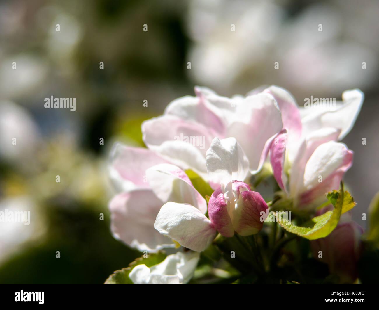 Apfel Bäume Blumen. die Samen tragenden Teil einer Anlage, bestehend ...