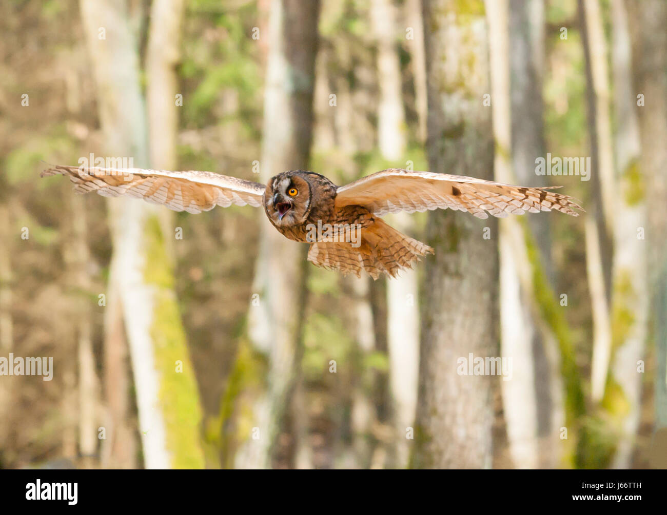 Porträt der Waldohreule mit gespreizten Flügeln heraus - Asio otus Stockbild