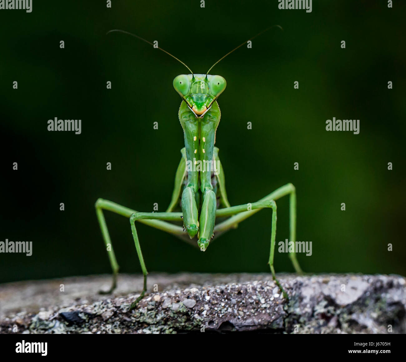 Praying Mantis Stockbild