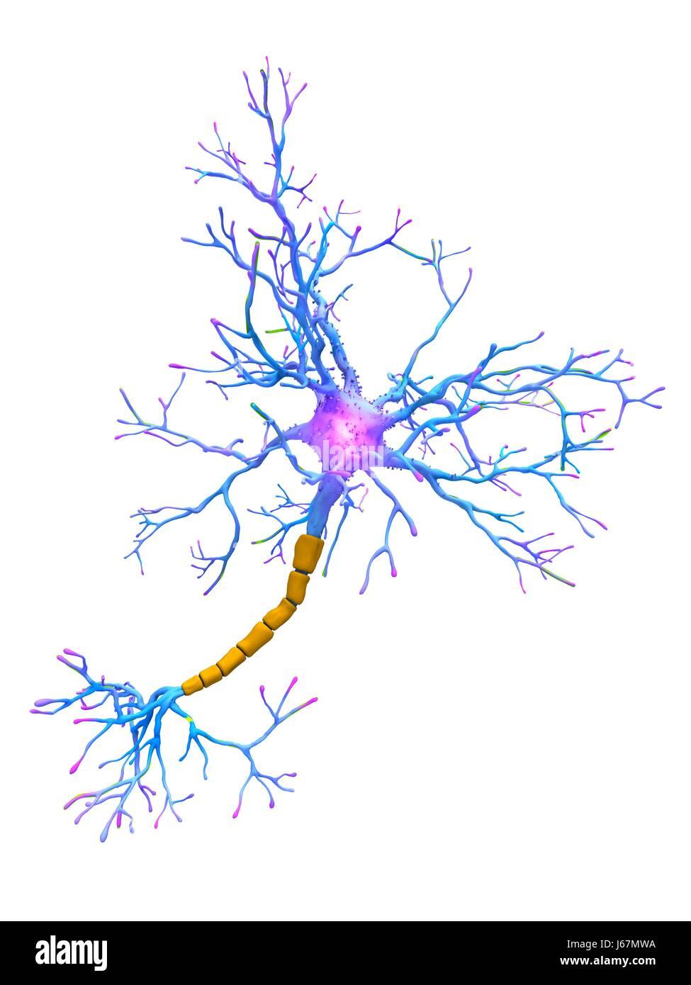 Nerve Sheath Stockfotos & Nerve Sheath Bilder - Seite 2 - Alamy