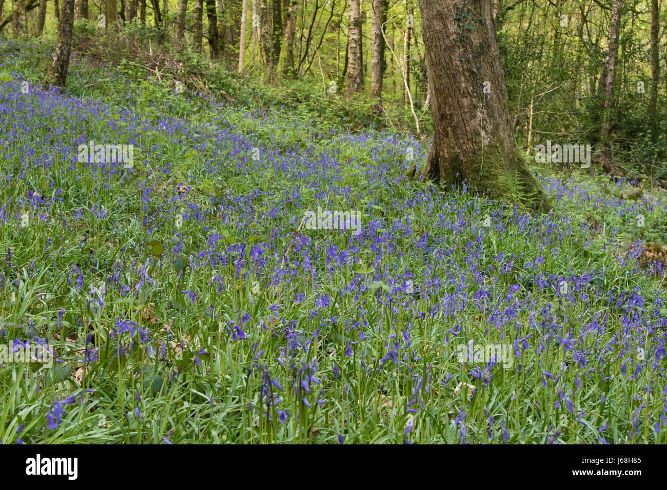 Glockenblumen mit Teppich den Boden einer hügeligen Eichenwälder im Snowdonia National Park, Wales Stockbild