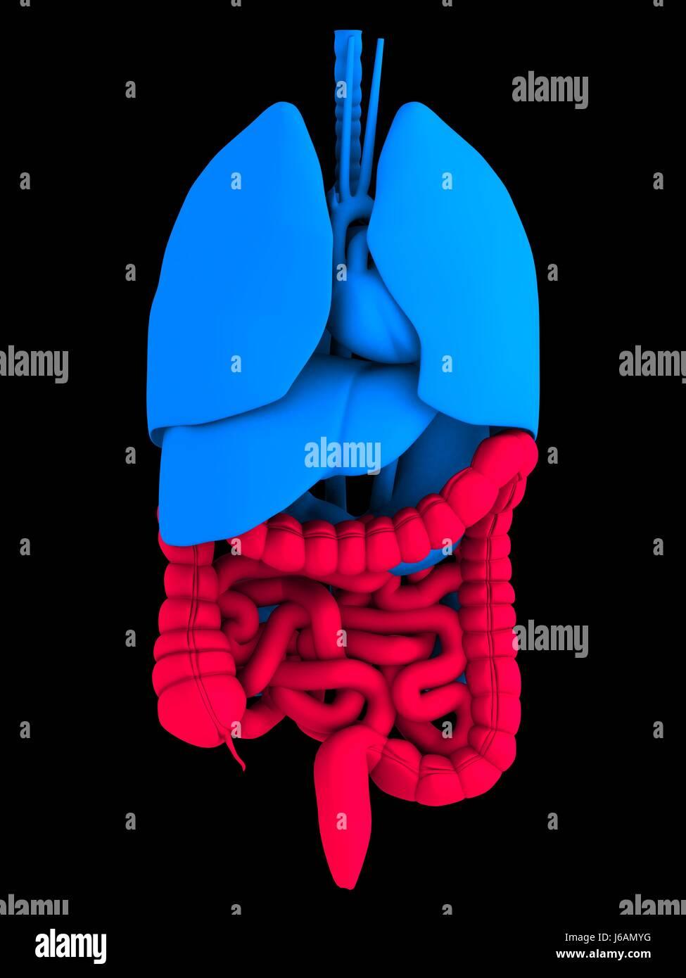 medizinisch medizinische Anatomie Darm Körper Doppelpunkt Gesundheit ...