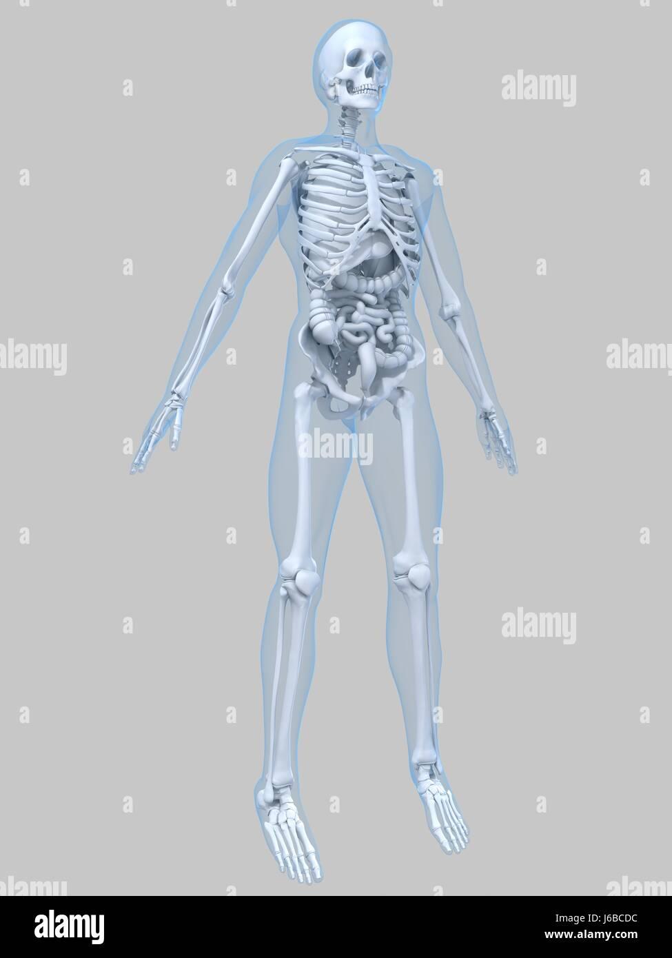 Gesundheit Medizin medizinisch menschlicher Mensch Skelett Anatomie ...