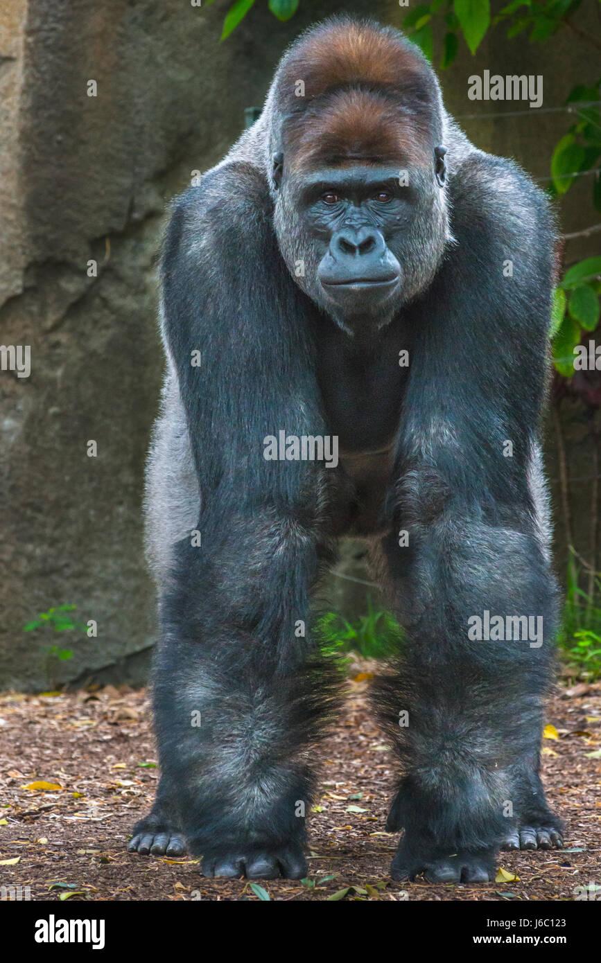 Gorilla im Taronga Zoo in Sydney, Australien. Stockbild