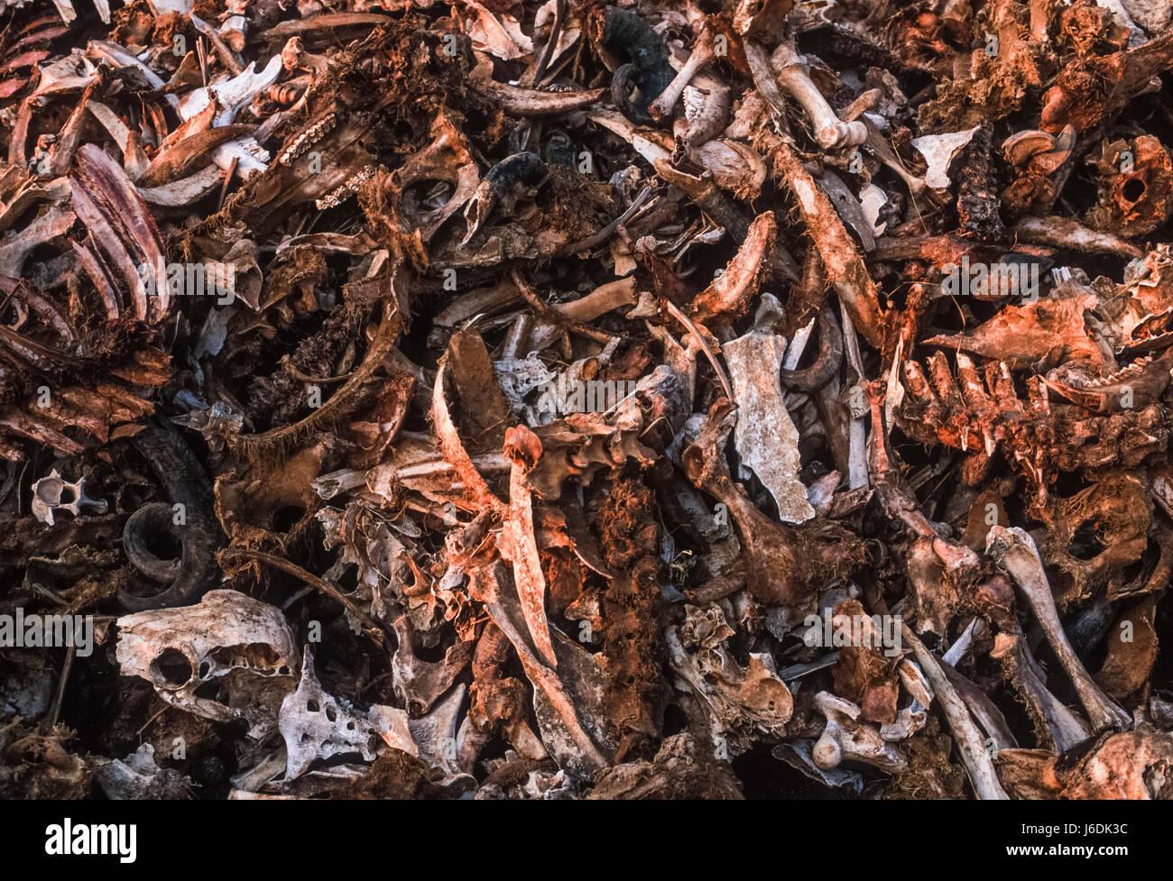 Haufen Tierknochen aus Düngemittelfabrik, Bharatpur, Rajasthan, Indien Stockbild