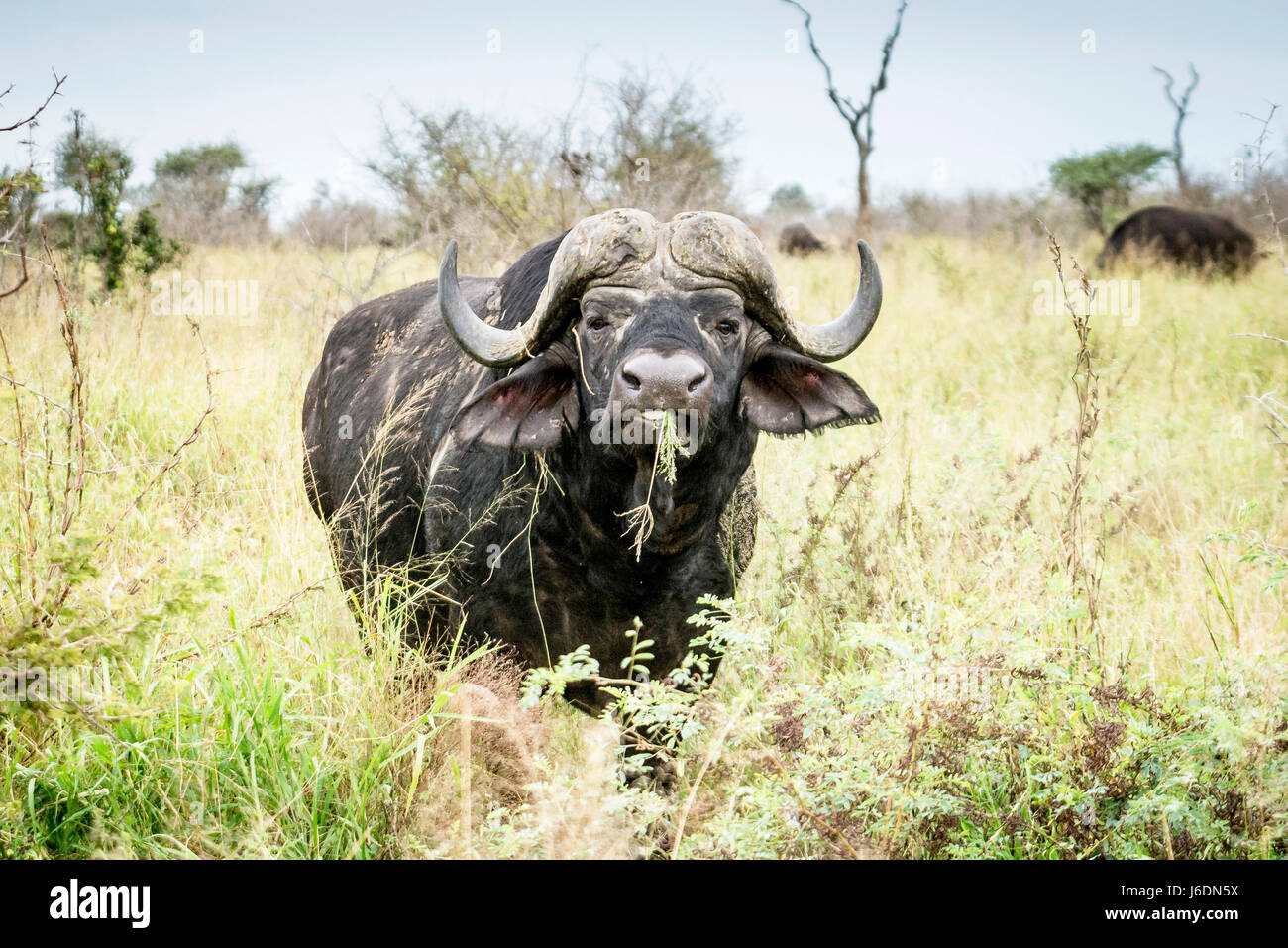 Afrikanischer Büffel Weiden mit Grass im Maul in Krüger Nationalpark, Südafrika Stockbild