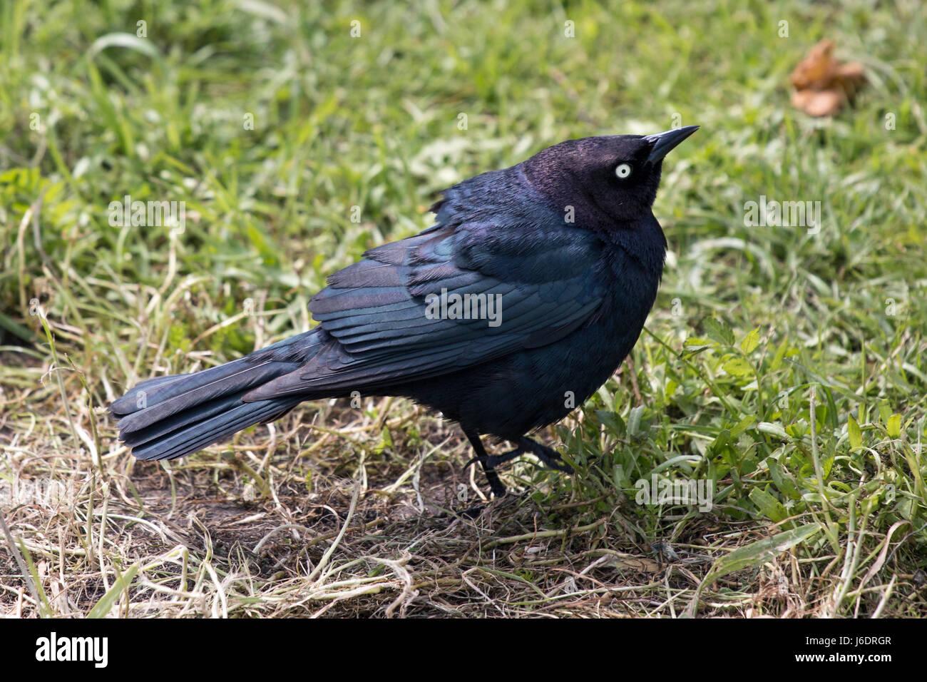 Schwarzer Vogel auf der Wiese, auf der Suche nach Nahrung Stockfoto